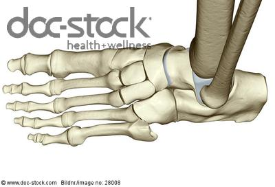 Ankle Bone Structure Left Foot Bone Structure