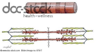 myofibrille - définition - C'est quoi