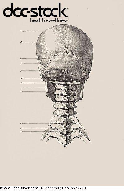 Schädel Hinterkopf