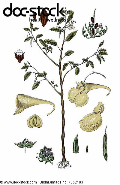 auch echtes springkraut ca 1796 heilpflanze historische chromolithographie r hr mich nicht. Black Bedroom Furniture Sets. Home Design Ideas