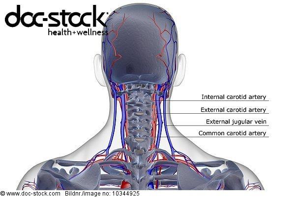 Surface anatomy head