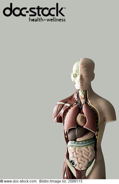 Alleinstehender,Anatomie,Anatomie Medizin,Anatomisches Modell ...