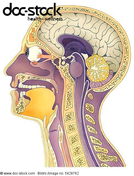 Kopf Querschnitt - Lizenzpflichtiges Bild - doc-stock Bildagentur ...