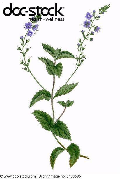 Waldehrenpreis ( Veronica officinalis ) Stengel mit Blüten .