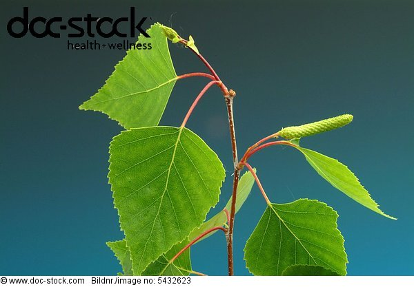 Betula pendula - Birch - Silver Birch - Medicinal plant - tree - leaves - Betulla verrucosa - Barancio - Bidollo -