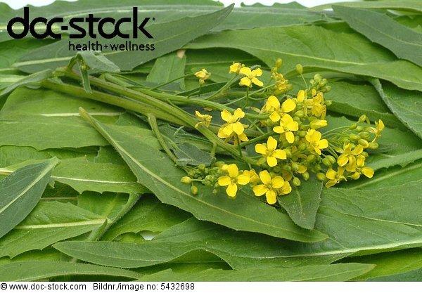 Ruca - turkish warty cabbage - salad - gardenplant - Heilpflanze - medicinal plant - Bunias orientalis - Bunias