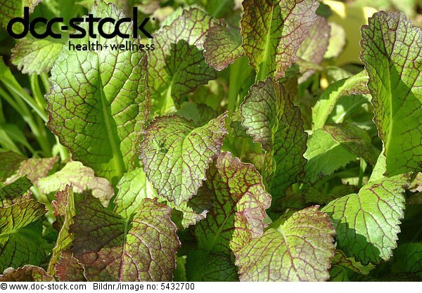 rassica juncea - Mustard greens - leaf mustard - Indian mustard - vegetable - salad - raw food - Brassica juncea - Senape indiana