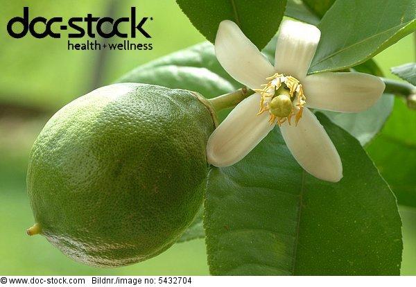 Blossom of the lemon - lemonblossom - unripe fruit - citrus limon - limone - fiore - Zitrone - Citrus limon -