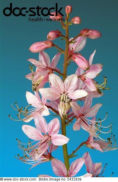 Burning bush - gas plant - medicinal plant - Dictamnus albus - Dittamo - Frassinella - Limonella - Dictamnus albus -