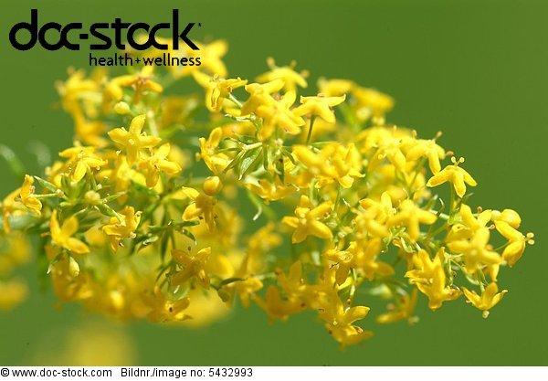 Golden Rod -  medicinal plant -  herb -  Kräuter -  medicinal use -  Solidago virgaurea -  Solidago canadensis -  Solidago