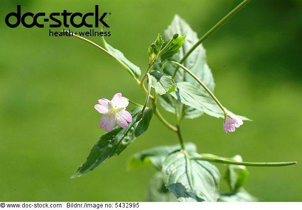 willowherb small flowered - codlins and creams - Epilobium parviflorum - pubescens - Garofanio minore -