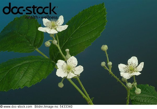 leaves and blossoms of the blackberry - used as medicinal plant - herb - Rubus fructicosus - Mora di Rovo -