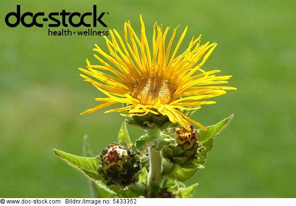 Blossom of Elecampane - medicinal plant - herb - Inula helenium - Enula campana -