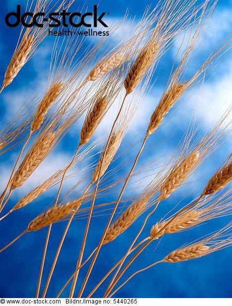 spike - spikes of bread wheat in front of blue sky - Triticum aestivum -