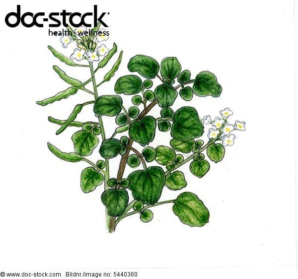 Illustration - Brunnenkresse - Pflanzenzweig mit 2 Blütenständen
