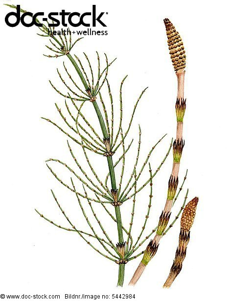 Common horsetail
