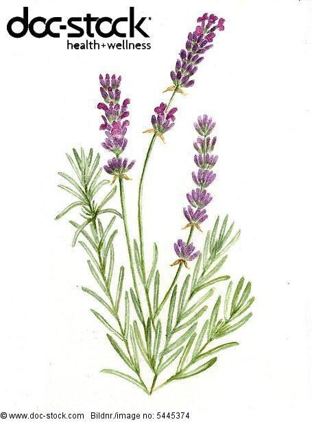 Lavender - Plantlife with three peduncles - Lavendula angustifolia