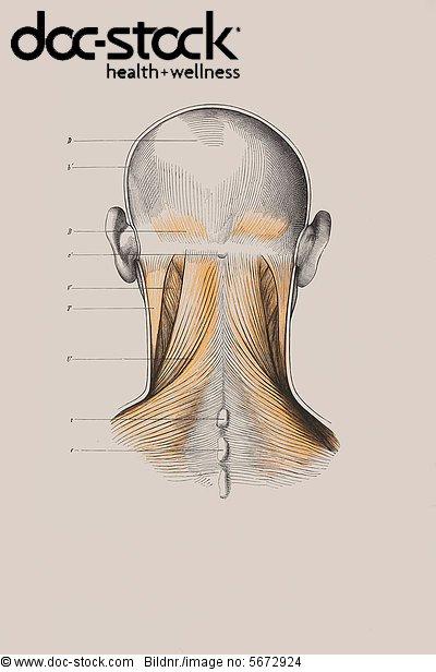 Schädel, Muskelaufbau, anatomische Illustration - Lizenzpflichtiges ...