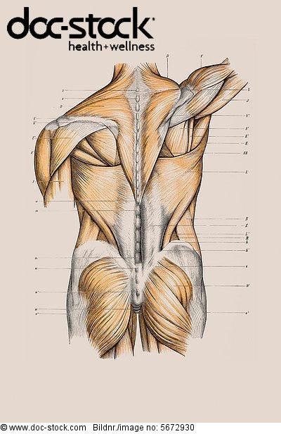 Muskelaufbau, Rücken, anatomische Illustration - Lizenzpflichtiges ...