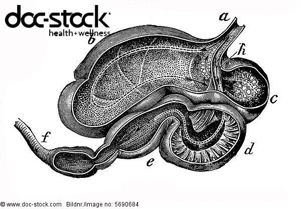 Kuhmagen, anatomische Illustration - Lizenzpflichtiges Bild - doc ...