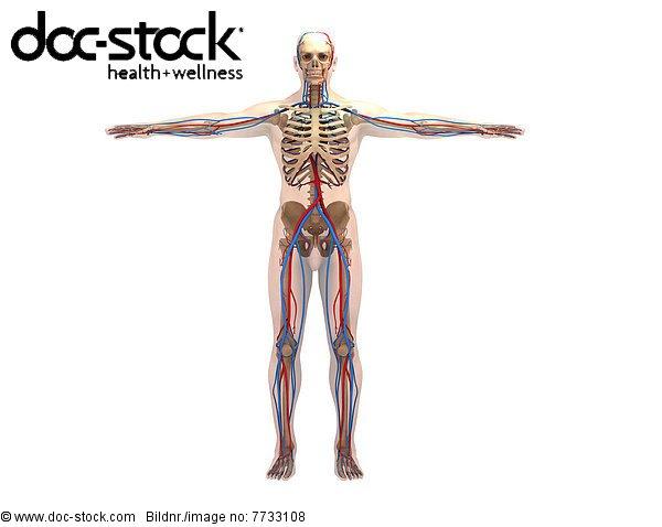 Illustration eines anatomischen Modells