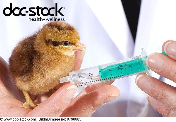 Krankheit ,Tier ,Spritze, Spritzen ,Vogel ,Huhn, Gallus gallus domesticus ,Virus ,Impfung ,Schutz ,jung ,Tierarzt ,Jungvogel ,Pharmaindustrie ,Veterinärmedizin