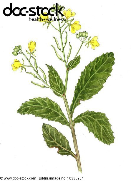 Wild mustard - Branch with three blossom shrubs - of Sinapsis arvensis