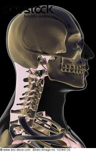 Anatomie,Ansicht,Bodenhöhe,durchsichtig,Getont,grau,koloriert ...