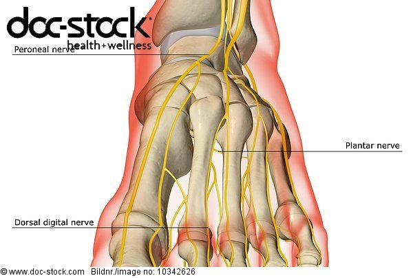 An anterior view of the nerve supply of the foot. The surface ...