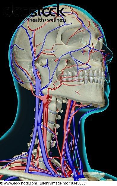 Anatomie,Angebot,Ansicht,Bodenhöhe,Getont,koloriert,Menschlicher ...