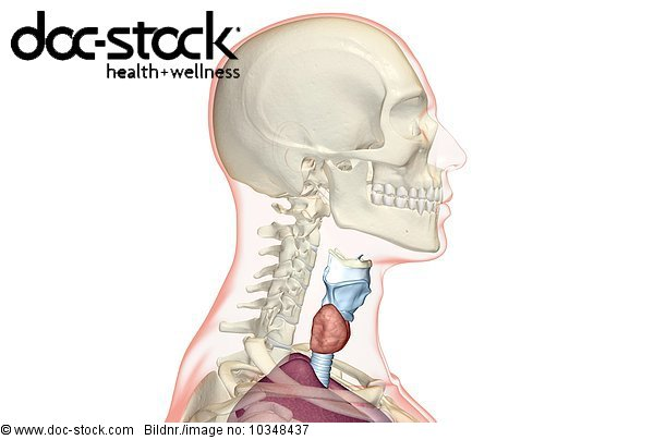 A lateral view (right side) of larynx relative to the cervical ...