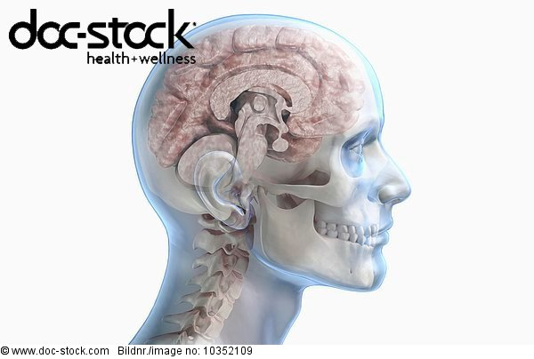 A Midsagittal Section Of The Brain And Its Position Relative To The