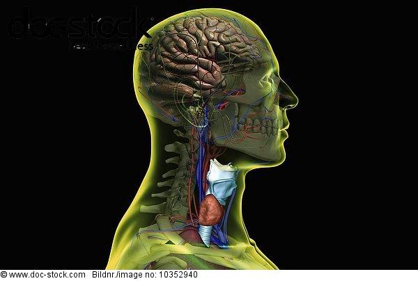 Anatomie,Angebot,Ansicht,Bodenhöhe,durchsichtig,Menschlicher Nacken ...