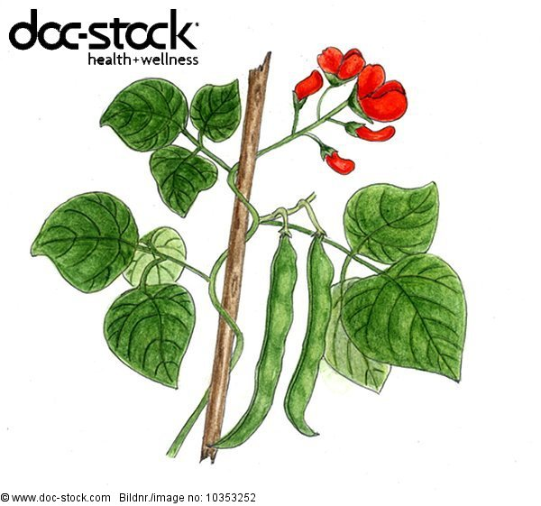 branch of green beans with florescence and two leguminous plants on white background