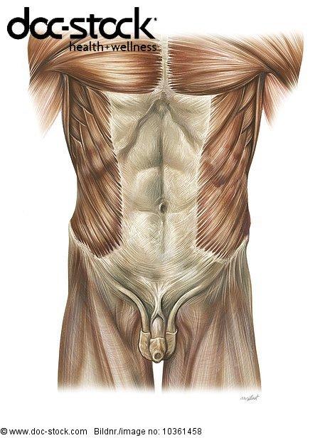 Abdomen,Anatomie,anatomisch,anatomische Darstellung,Bauch Abdomen ...
