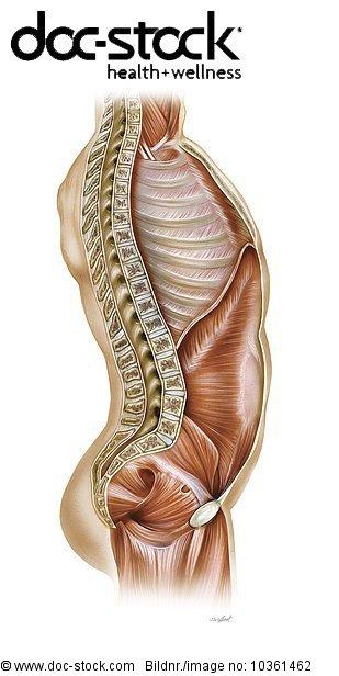 Anatomie,anatomisch,anatomische Darstellung,Bauch Abdomen,Bauchwand ...