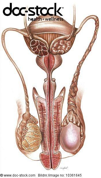 Anatomie,anatomisch,anatomische Darstellung,Biologie,doc-stock ...
