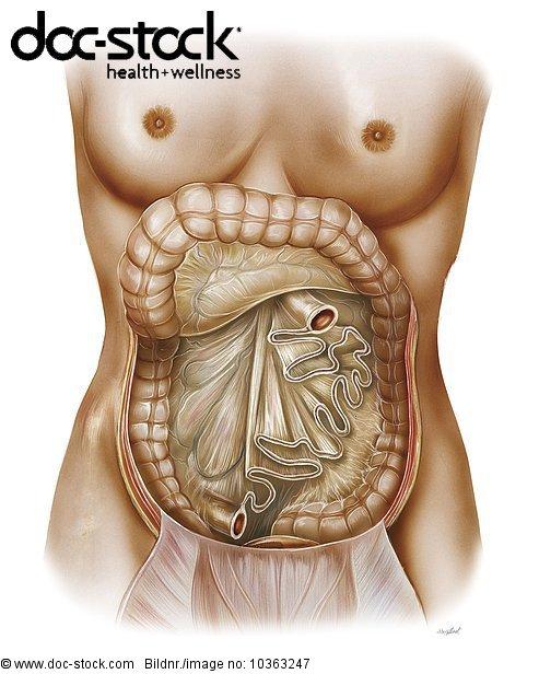 Hintere,1,Abdomen,Anatomie,Bauch,Bauchwand - Lizenzpflichtiges Bild ...