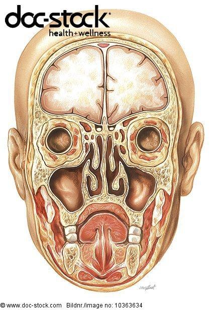 Anatomie,Atem,Atemtrakt,Atemwegserkrankungen - Lizenzpflichtiges ...