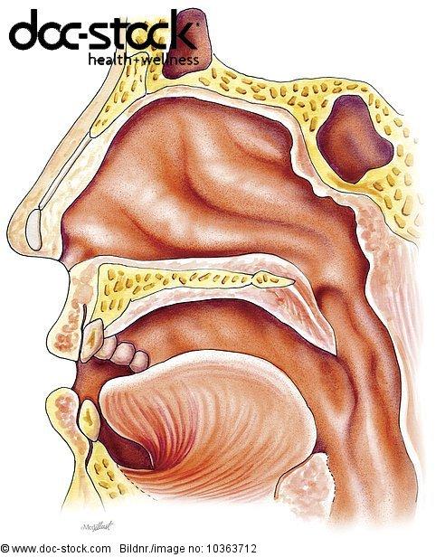 Anatomie,Artikulation,Atemluft - Lizenzpflichtiges Bild - doc-stock ...