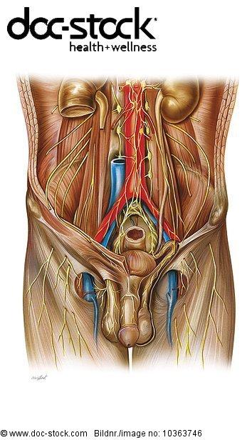 Anatomie,Anatomie-Modell Anatomiemodell,Bau der Körperteile,Becken ...