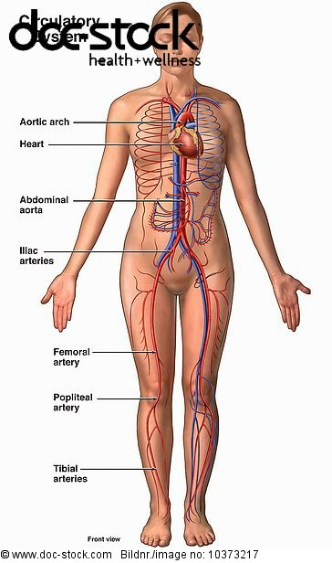 Abbildung,abdominal aorta,Anatomie,and tibial arteries.,Aorta ...