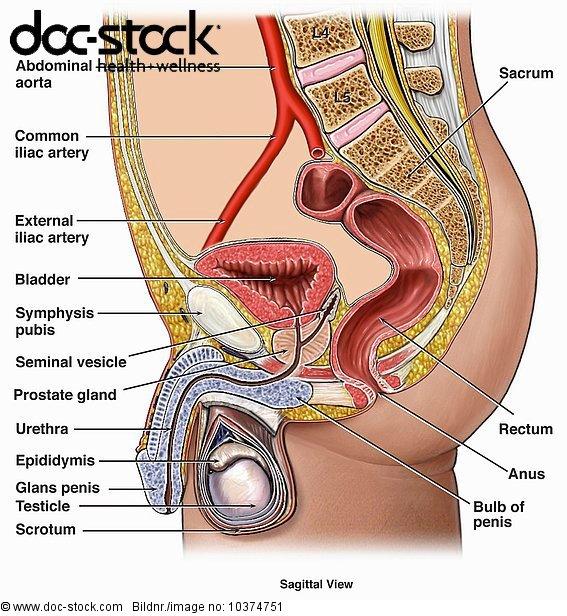 Anatomie,Ansicht,blasen,Blumenzwiebel,bläst,Gesundheitspflege ...