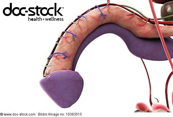 3D4M000000367,Abbild,Anatomie,Apparatus urogenitalis,Arteria ...