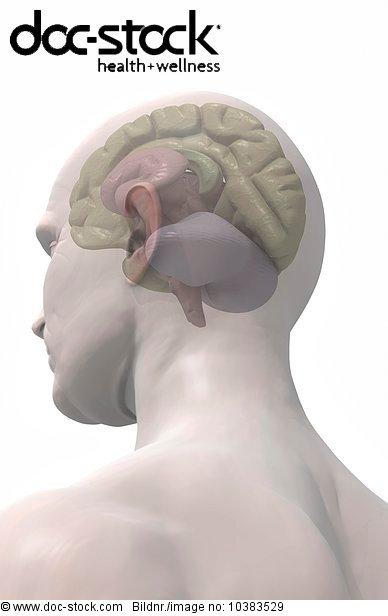 3D4M000000384,Anatomie,Bau der Körperteile,Biologie,Brücke,cap-eng ...