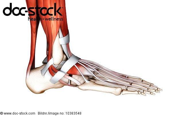 3D4M000000429,Achillessehne,ambulant,Anatomie,Bau der Körperteile ...
