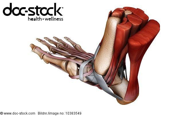 3D4M000000430,Achillessehne,Anatomie,Bau der Körperteile,Biologie ...