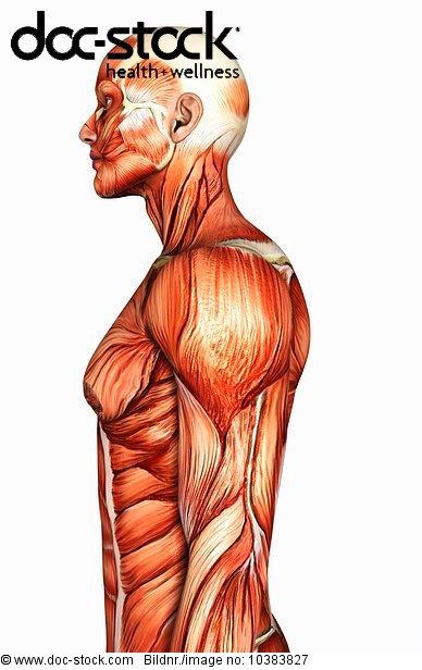 3D4M000000939,abdominal,Anatomie,Bau der Körperteile,Bewegung ...