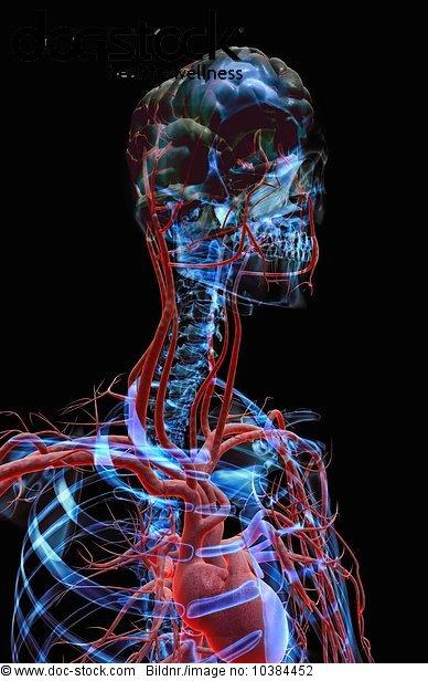 3D4M000002785,Anatomie,Aorta,Bau der Körperteile,Biologie ...