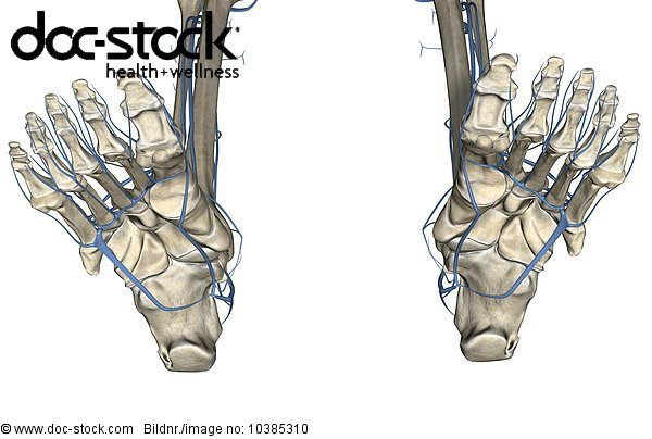 3D4M000005112,Adern,An inferior view of the veins (blue) of the feet ...